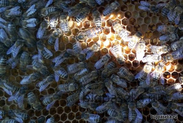пчеломатка на рамке Дадан
